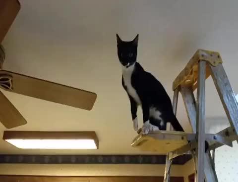 Watch The Ceiling Fan Cat GIF on Gfycat. Discover more cat, funny, kitten, kittens, skippy GIFs on Gfycat