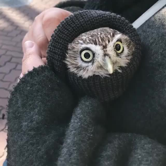 Watch Owlurrito (reddit) GIF by FarSizzle (@farsizzle) on Gfycat. Discover more related GIFs on Gfycat