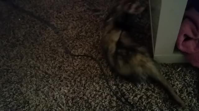 Watch Ferret playing GIF on Gfycat. Discover more related GIFs on Gfycat