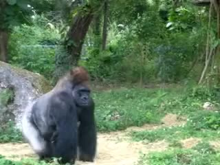 Watch and share Gorilla Walking GIFs on Gfycat