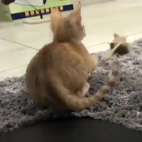 kitten, Prey has been sighted, commence butt wiggles GIFs