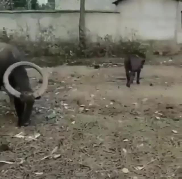 Watch and share Cow GIFs by Supremegalacticgod on Gfycat