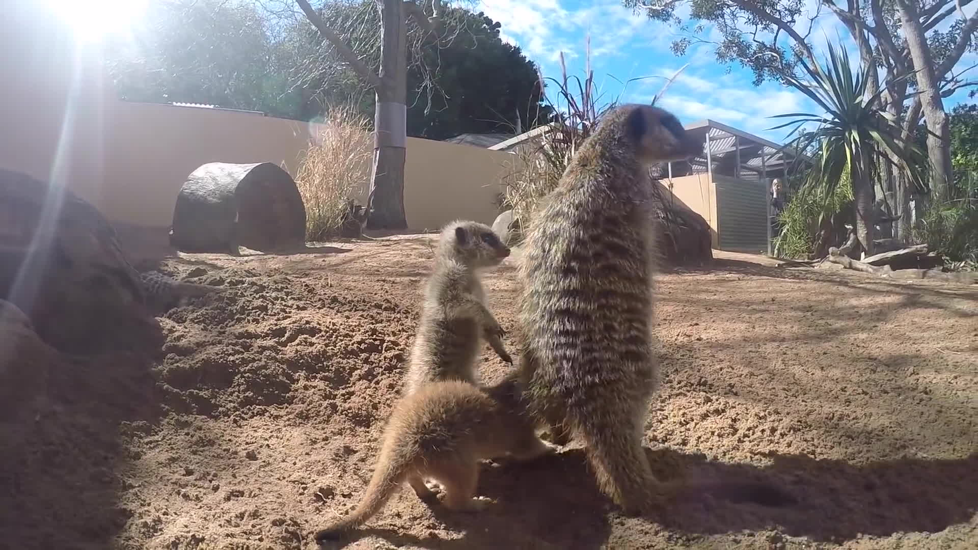 Meerkat Baby Gifs Search | Search & Share on Homdor