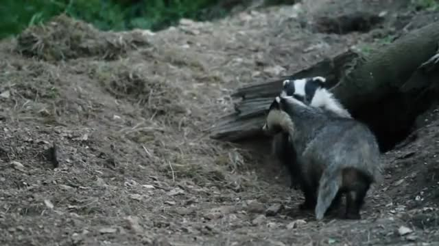 Watch Excited Badger Cub GIF on Gfycat. Discover more cub;, cute, eyebleach GIFs on Gfycat