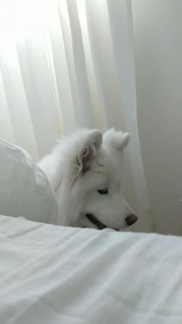 Watch and share Morning GIFs and Samoyed GIFs on Gfycat