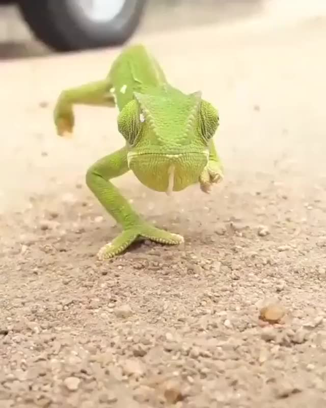 Watch and share ???? Flap-necked Chameleon Walking Towards The Camera ???? GIFs by likkaon on Gfycat