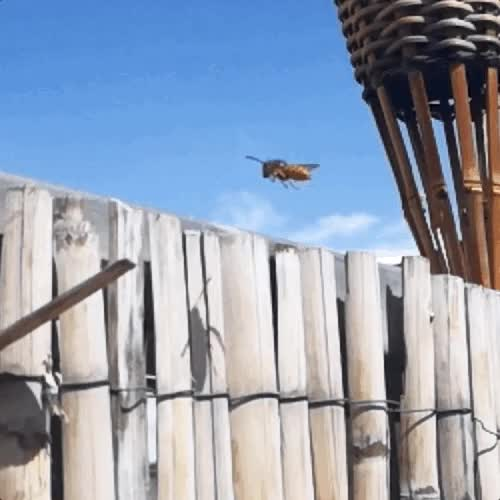 Watch and share Found This Hornet Chewing My Reed Fencing This Morning GIFs on Gfycat