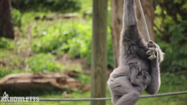 Watch and share Howletts GIFs and Animal GIFs by Port Lympne Hotel & Reserve on Gfycat