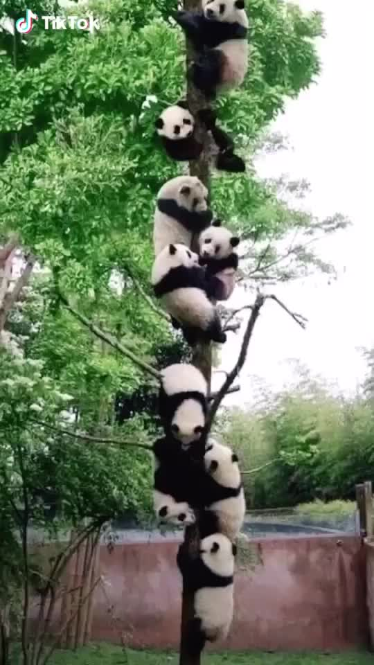 Watch and share  Pandas Grow On Trees? GIFs by bd on Gfycat
