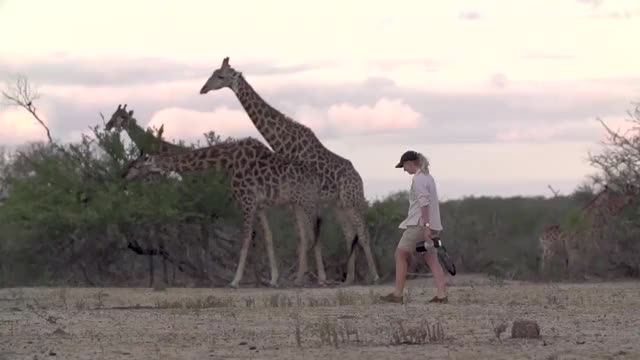 Watch and share Amy Giraffe Walk GIFs by Londolozi Game Reserve on Gfycat