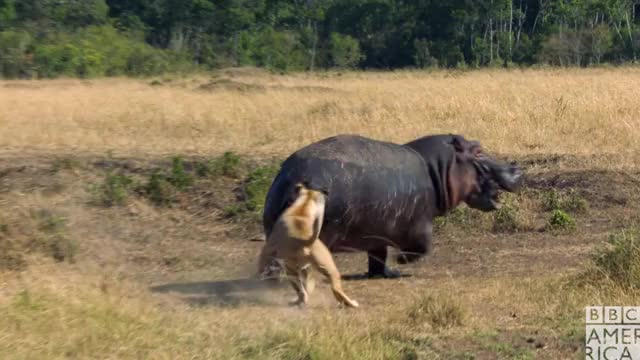 Watch this animal GIF by BBC America (@bbcamerica) on Gfycat. Discover more angry, animal, animals, annoyed, bbc america, bbc america dynasties, bbc america: dynasties, dynasties, gtfo, hate, hippo, hippopotamus, lion, lions GIFs on Gfycat