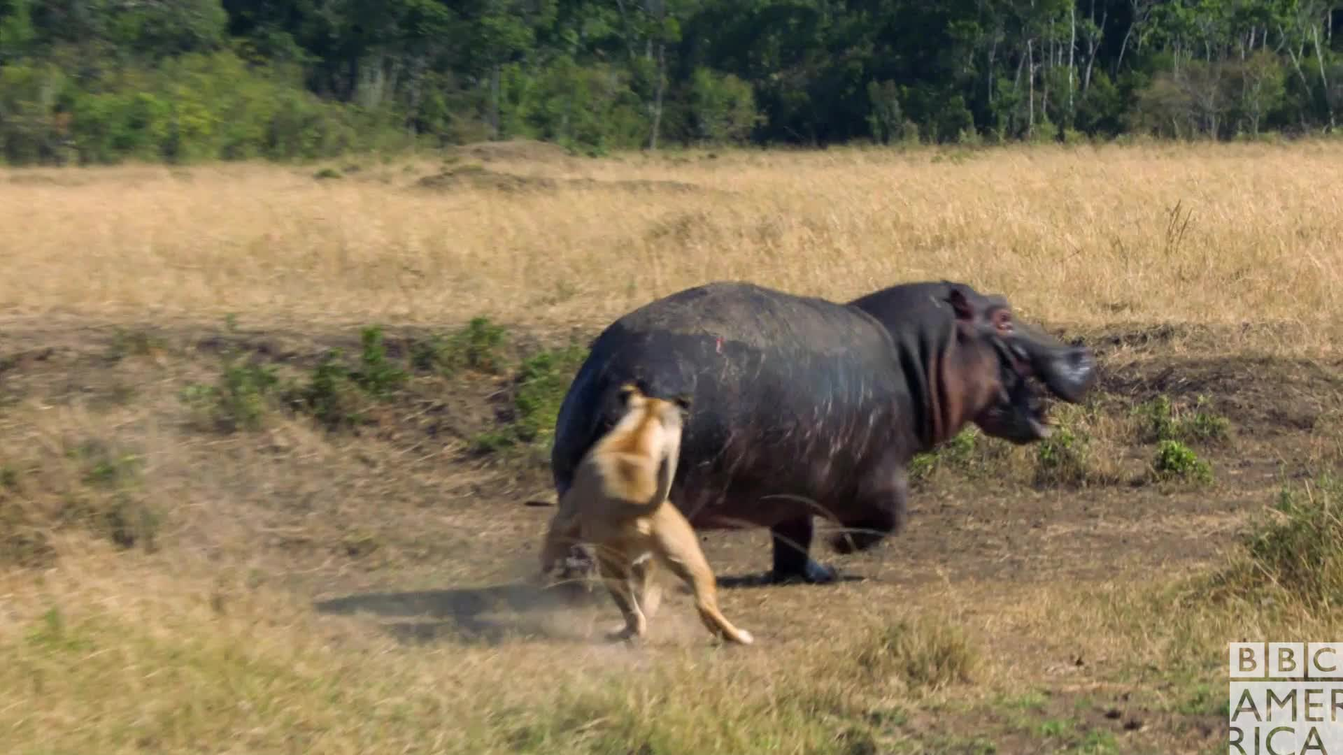 angry, animal, animals, annoyed, bbc america, bbc america: dynasties, dynasties, gtfo, hate, hippo, hippopotamus, lion, lions, Dynasties Angry Hippo GIFs