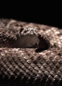 Watch and share A Rattlesnake Doing Its Thing GIFs on Gfycat
