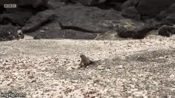 Watch and share Run Iguana Run GIFs on Gfycat