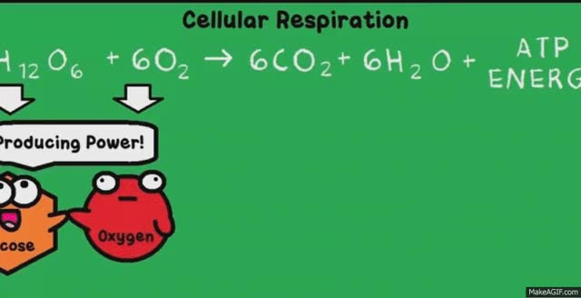 Watch Cellular respiration GIF on Gfycat. Discover more related GIFs on Gfycat