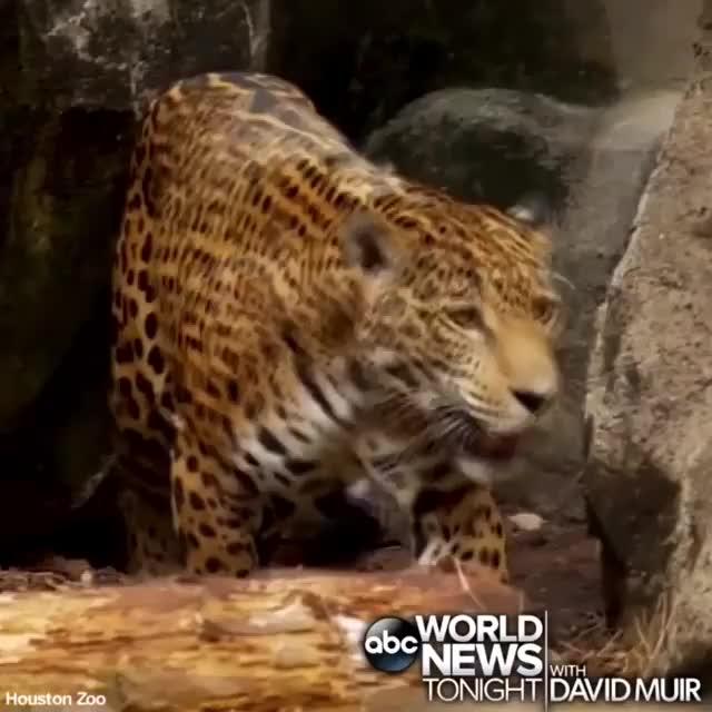 Watch and share Video By Abcworldnewstonight GIFs by awkwardtheturtle on Gfycat