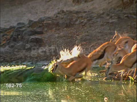 Crocodile takes a gazelle for a swim GIFs