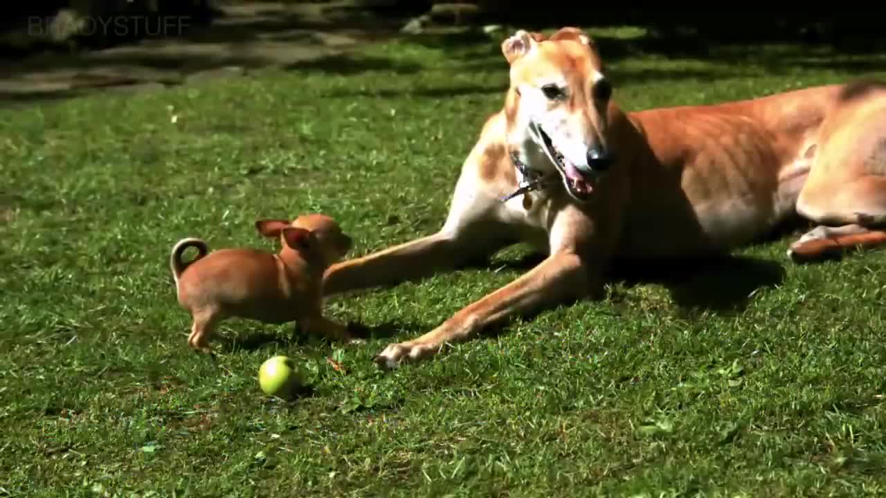 Animal (Film Genre), Chihuahua (Animal Breed), Dog, Greyhound (Animal Breed), Puppy (Animal), Slow, Chihuahua Puppy vs Peaceful Greyhound (SLOW MOTION) GIFs