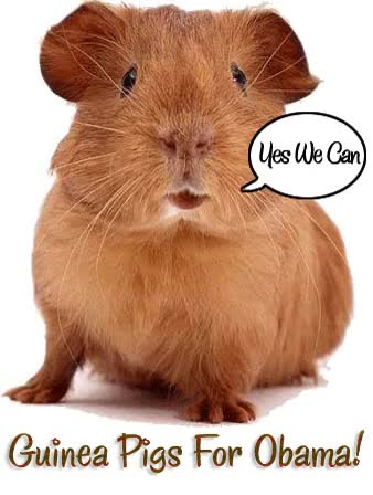 Watch and share Guinea Pig GIFs on Gfycat
