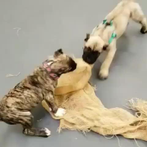 Watch and share Bestdogever GIFs and Mountaindog GIFs by Julia Khoang on Gfycat