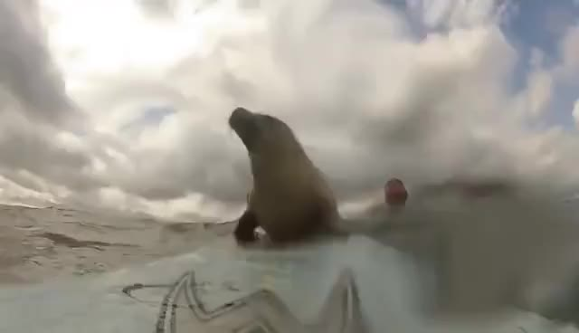 Watch and share Seal Surf GIFs on Gfycat