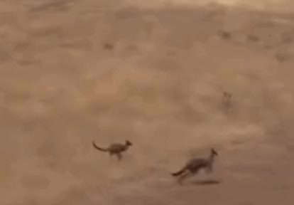 Watch and share Kangaroo GIFs and Animals GIFs by mah0ne on Gfycat