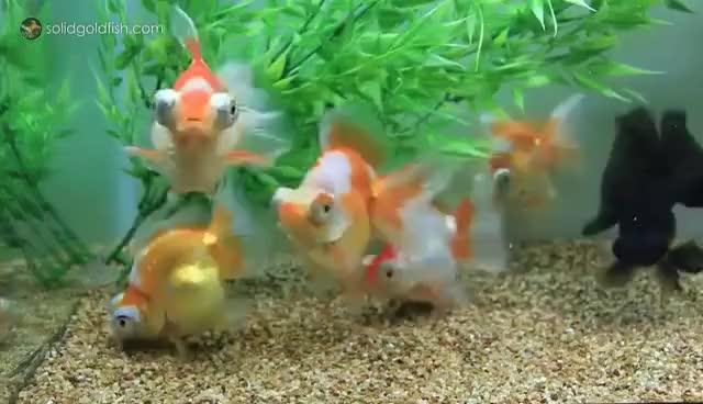 Best Solid Goldfish Gifs Gfycat