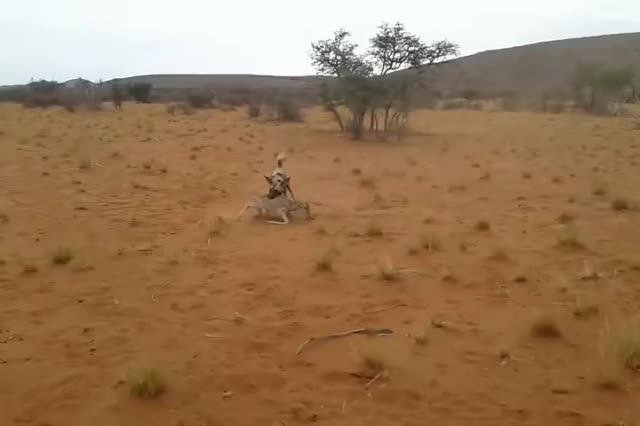 Watch and share Baby Antelope Gets Ripped Open By African Wild Dogs GIFs by Pardusco on Gfycat