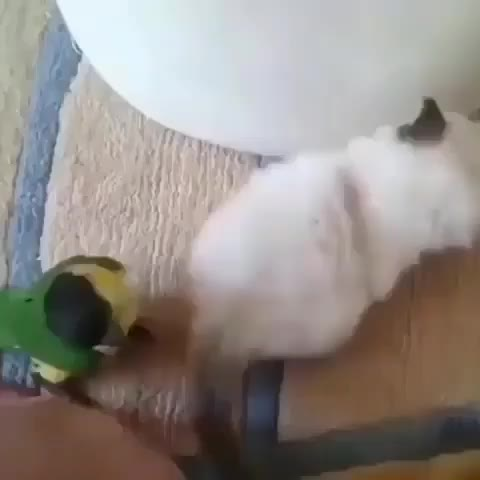 Watch and share Kitten GIFs and Bird GIFs by Sid on Gfycat