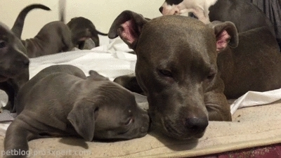 cute, cuteness, dog, dog love, dogs, gif, kissing, pet, pet blog, petcorner, pets, pitbull, puppies, puppy, rescue dogs, woof, woofwoof, Puppy: *Love you mom!..* [video] GIFs