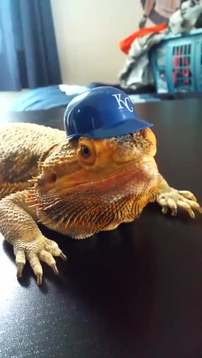 Watch this kansas city royals GIF on Gfycat. Discover more BeardedDragons, beardeddragons, kansas city royals, lizard, royals GIFs on Gfycat