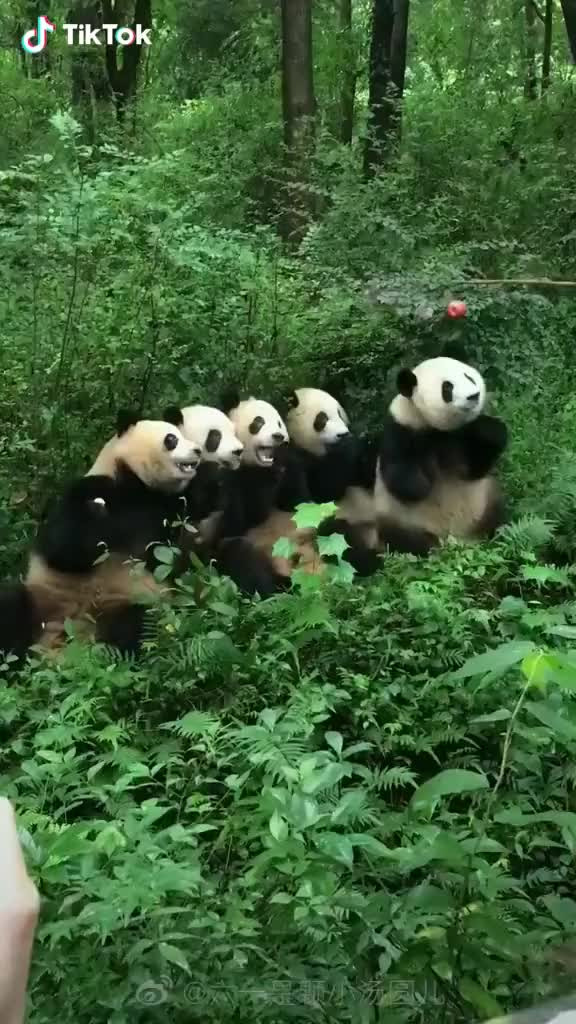 Watch and share Five Hungry Pandas GIFs by TikTok on Gfycat