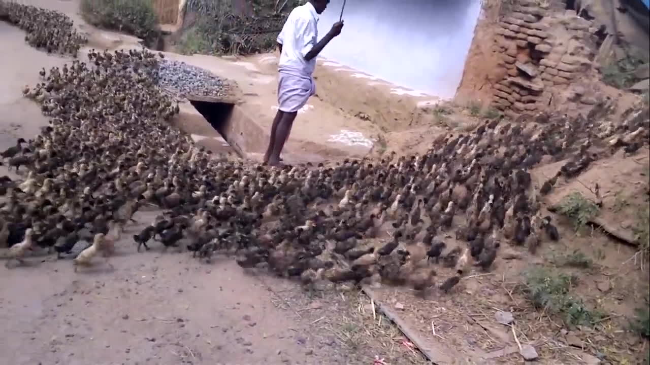 gifs, poultry farming, ugly duckling, holy ...ducks! GIFs