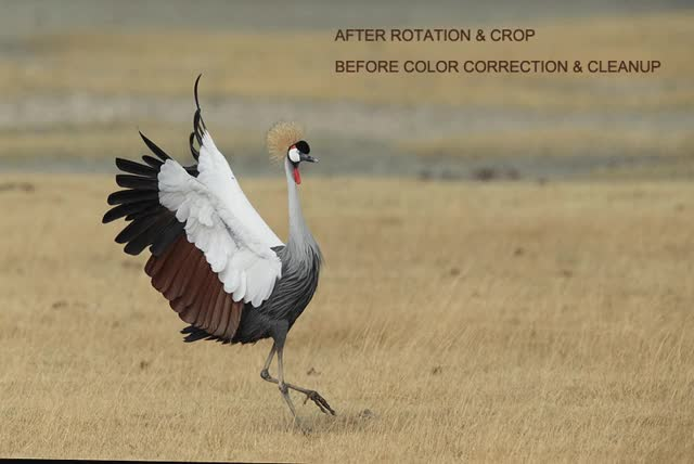 Watch and share Anim Grey Crowned Crane Landing AFTER CROP Ngorongoro Crate Tanzania GIFs on Gfycat