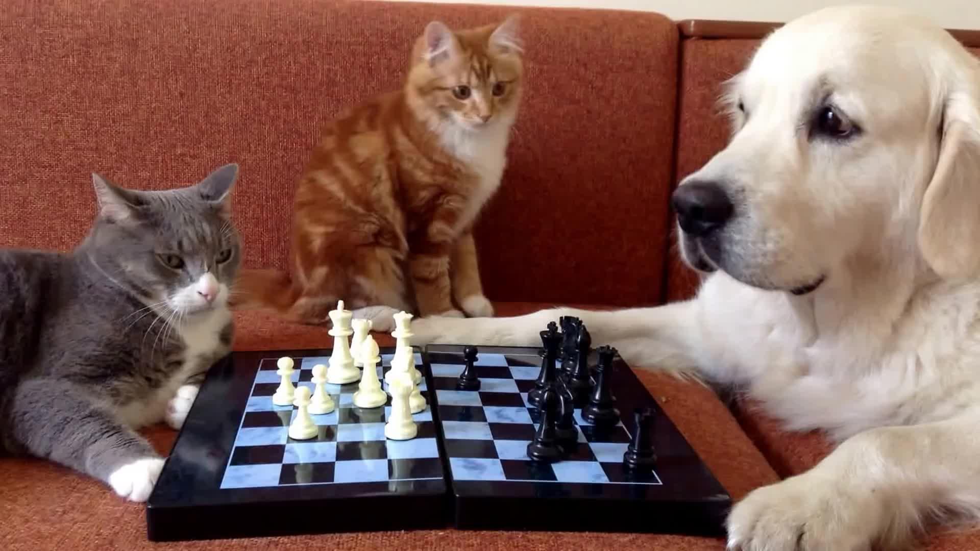 chess, game, ira nosik, гав, голден, золотистый ретривер играет в шахматы, кот, кот играет в шахматы, коты, кошка кусака, мур, мяу, приколы с котами, ретривер, собака и кот, собака играет в шахматы, собака играка, собака-терапевт, собаки, шахматы, Cats and dogs playing chess GIFs