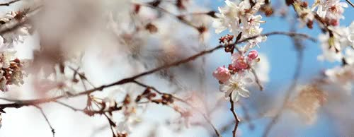 Watch cherry blossoms spring nature GIF on Gfycat. Discover more related GIFs on Gfycat