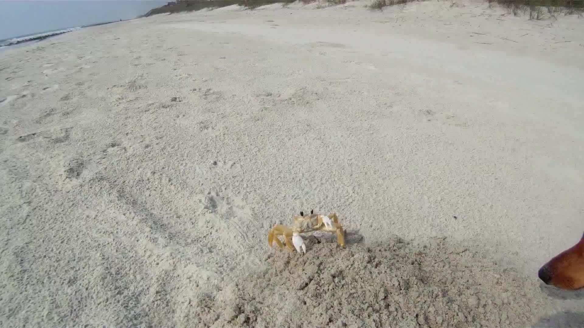 aww, Madeline dachshund puppy with Crab GIFs