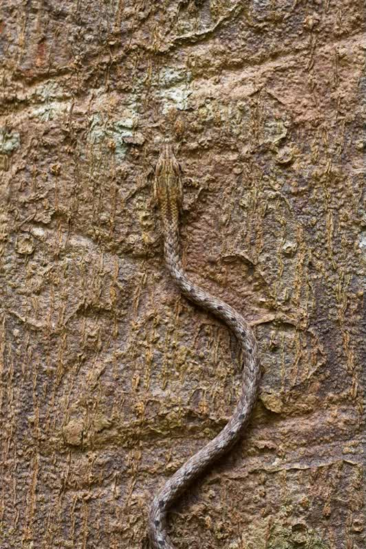 Watch and share Keel-bellied Whip Snake (Dryophiops Rubescens) GIFs on Gfycat