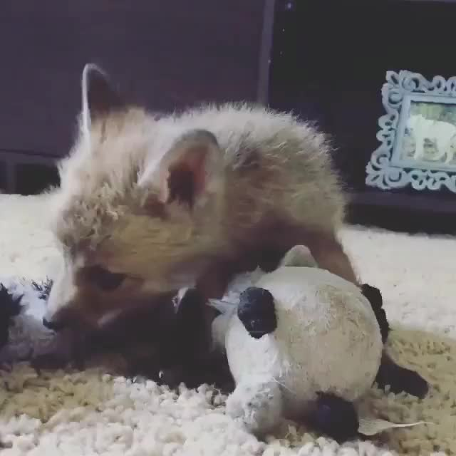 Watch and share /r/foxgifs - Video By Juniperfoxx GIFs by cakejerry on Gfycat