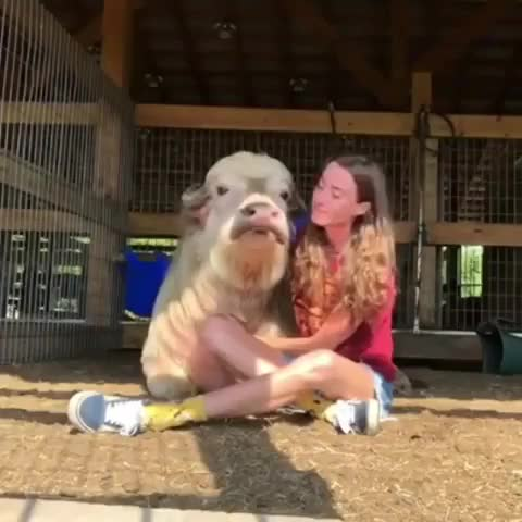Watch and share Aww GIFs and Cow GIFs on Gfycat