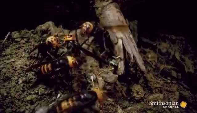 Watch and share Two Giant Killer Hornet Colonies Fight To The Death GIFs on Gfycat