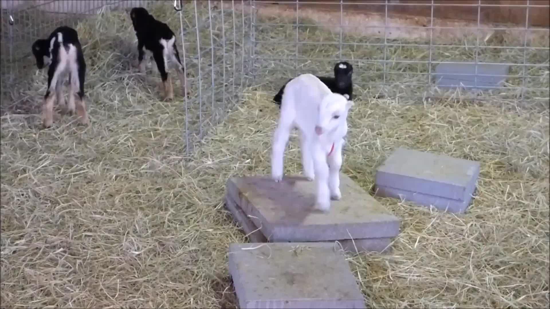 animal, animals, eyebleach, goat, goats, knsfarm, parkour, tippytaps, Not too happy! GIFs