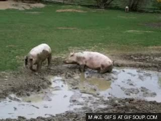 Watch and share Pig GIFs on Gfycat