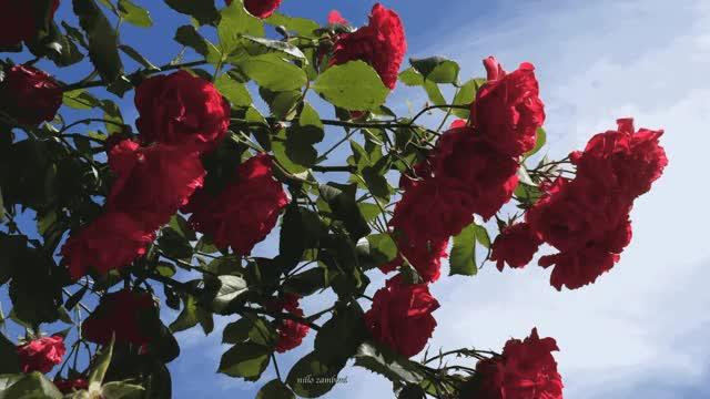 Watch and share Nillo Zamboni GIFs and Flowers GIFs by zamboni nillo on Gfycat