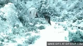 Seth Lobo en la nieve 1