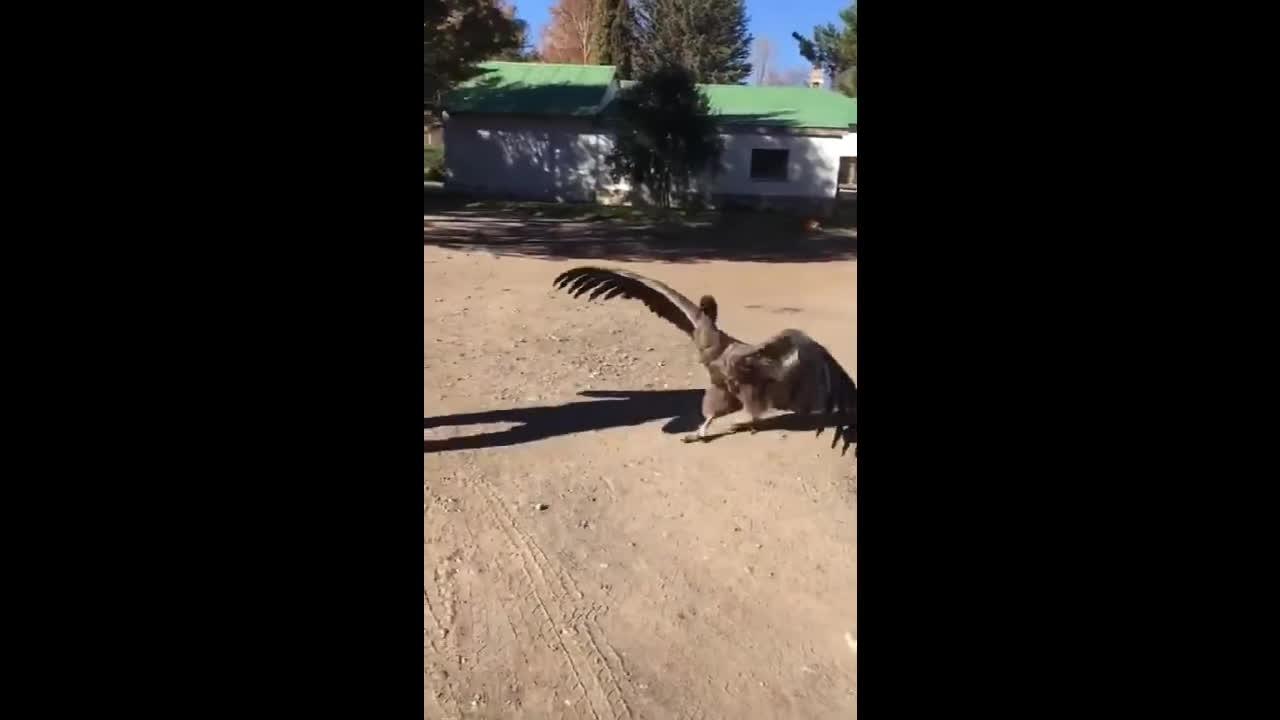 AnimalsBeingBros, Condor visits man who saved his life GIFs