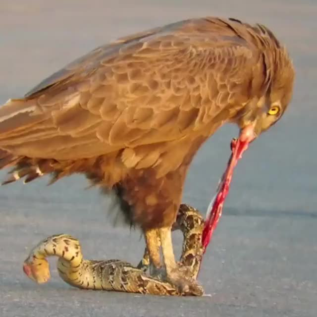 Watch and share Brown Snake Eagle Rips A Puff Adder Alive GIFs by Kevin Levin on Gfycat