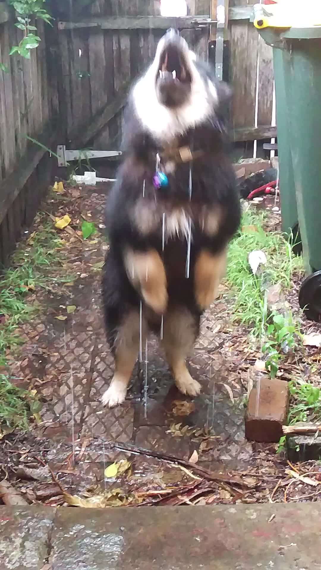 dog, rain, raining, Pupper happy the heat wave has finally broken GIFs