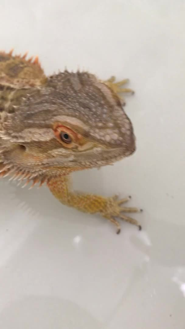 Watch and share Lizard Nose Shedding GIFs by harmlesshenry on Gfycat