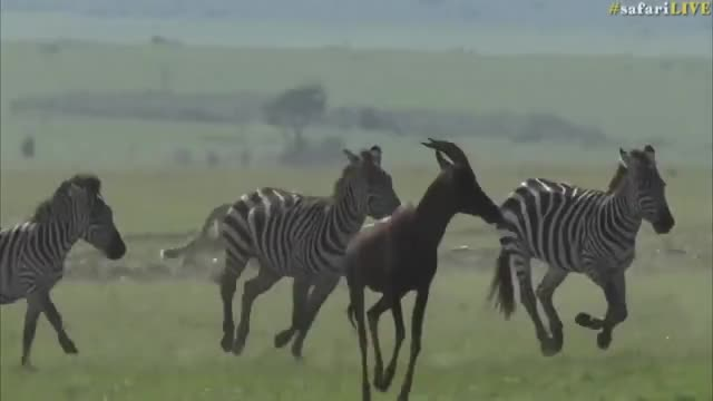 Watch this animals GIF by Pardusco (@pardusco) on Gfycat. Discover more animals, zebra GIFs on Gfycat